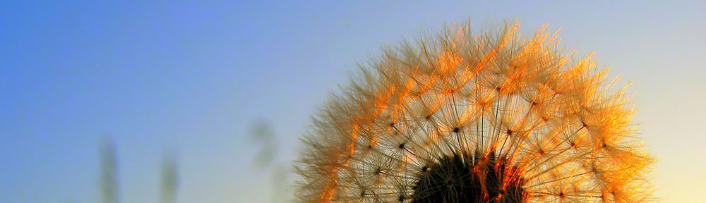 Picture of dandelion in sunset
